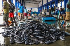 Tuna Fish au marché de pêche dans le port de Beruwala, Sri Lanka Image libre de droits
