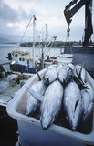 Tuna fish in container on fishing boat dawn Cairns Australia Stock Photo
