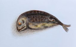 Tuna fish drawing on white paper background. Royalty Free Stock Photo