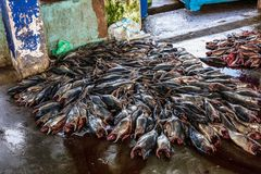 Tuna Fish på fiskemarknaden i den Beruwala hamnen, Sri Lanka Royaltyfri Foto