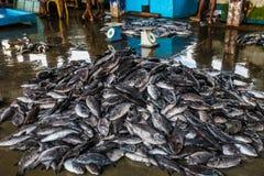 Tuna Fish på fiskemarknaden i den Beruwala hamnen, Sri Lanka Royaltyfri Fotografi
