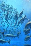 Tuna Fish School Imagem de Stock Royalty Free
