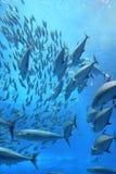 Tuna Fish School. Photo taken in an aquarium in Okinawa, Japan. 2010. Tuna Fish and other fish swimming in a school Royalty Free Stock Image