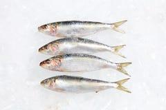 Tuna Fish sul fondo del ghiaccio Fotografie Stock Libere da Diritti