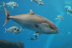 Tuna fish swimming underwater, bluefin tuna, Atlantic bluefin tuna, northern bluefin tuna stock photo. Tuna fish swimming underwater known as bluefin tuna stock photography