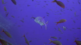 Tuna fish swims in reef and in blue sea. stock video footage