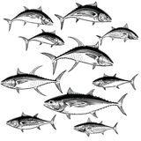 Tuna Illustrations. Illustrations of Blue Fin, Yellow Fin, Albacore, Bigeye and Skipjack Tuna Royalty Free Stock Photography