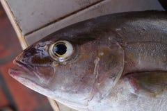 Tuna mackerel. Detail of fresh fish head, taken in the Cumana, Venezuela Royalty Free Stock Image
