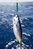 Tuna Mediterranean big game fishing Stock Photography