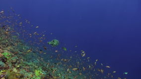 Tuna pufferfish and shark in one frame in blue sea stock video footage