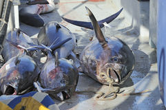 Tunafish della perca gialla sulla barca Fotografia Stock