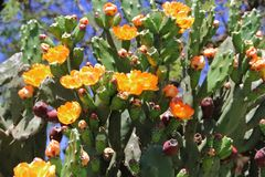 Tunas and cactus flowered in spring red fruits and yellow flowers Stock Images