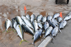 Tunas just fished Royalty Free Stock Image