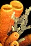 Tunbe sponge Royalty Free Stock Photography