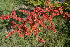 Tunberg's barberry (Berberis thunbergii DC.), a branch with fruits royalty free stock photo