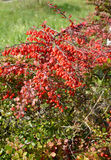 Tunberg's barberry (Berberis thunbergii DC.), a branch with red leaves and berries royalty free stock image