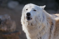 Tundra άσπρος πολικός στενός επάνω λύκων Λατινικό όνομα - arctos Λύκου Canis Στοκ Εικόνες