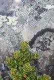 tundra βράχου φυτών λειχήνων Στοκ εικόνα με δικαίωμα ελεύθερης χρήσης