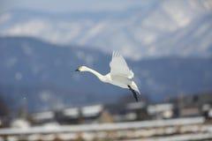 Tundra κύκνος στην Ιαπωνία στοκ εικόνες