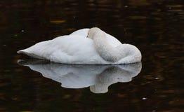 Tundra κύκνος στοκ φωτογραφίες με δικαίωμα ελεύθερης χρήσης