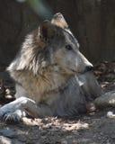 Tundra λύκος που στηρίζεται σε ένα δασώδες άλσος στοκ φωτογραφίες