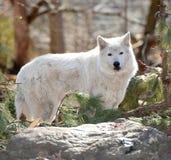 Tundra λύκος στις άγρια περιοχές στοκ φωτογραφίες με δικαίωμα ελεύθερης χρήσης