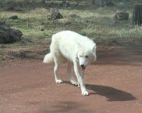Tundra λύκος στο βρώμικο δρόμο στοκ εικόνες με δικαίωμα ελεύθερης χρήσης
