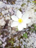 Tundra λουλούδι στην Αλάσκα Στοκ Φωτογραφίες