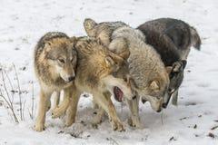 Tundra λύκοι στοκ εικόνα
