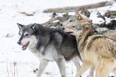 Tundra λύκοι στοκ εικόνα με δικαίωμα ελεύθερης χρήσης