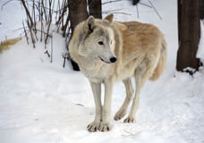 Tundra λύκος Στοκ φωτογραφία με δικαίωμα ελεύθερης χρήσης