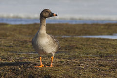 Tundra bean goose standing on the shore of the lake Stock Image