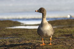 Tundra bean goose standing on the shore of the lake tundra Stock Photo