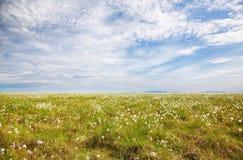 Tundra da grama de algodão imagens de stock royalty free