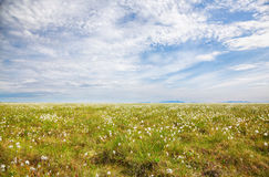 Tundra de la hierba de algodón Imágenes de archivo libres de regalías