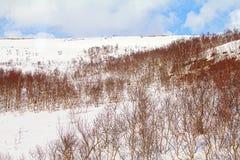 Tundra de la montaña de Laponia en primavera Extensión nevada y abedul traviesos Foto de archivo