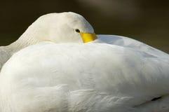 tundra för swan för bewickiibewickscygnus Fotografering för Bildbyråer