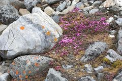 Tundra flowers (Saxifraga oppositifolia). Arctic flowers in tundra (Purple Saxifrage Stock Photo