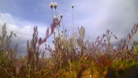 Tundra,  marsh area  of the North with  cotton grass. Blossoming spring tundra with a moss and a cottongrass stock video
