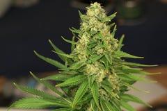 Tundra Matanuska ποικιλία της ιατρικής μαριχουάνα Στοκ Εικόνα