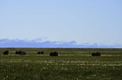 Tundra Musk Ox Stock Photo