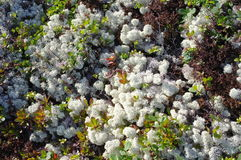 Tundra plants Royalty Free Stock Photo