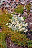 Tundra Plants on a scree slope Royalty Free Stock Photo