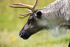 Tundra Raindeer (Rangifer tarandus) Royalty Free Stock Photo