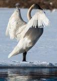 Tundra-Schwan verbreitet seine Flügel Lizenzfreie Stockfotografie