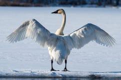 Tundra-Schwan verbreitet seine Flügel Stockbild