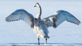 Tundra-Schwan verbreitet seine Flügel Stockfotografie