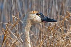 Tundra Swan Stock Photography