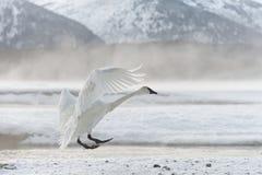 Tundra swan. Bewick's Swan or Tundra Swan - Cygnus bewickii Royalty Free Stock Photography