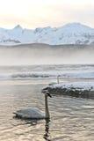 Tundra swan Stock Photos